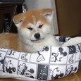僕は秋田犬の団ちゃんだよ・・・!