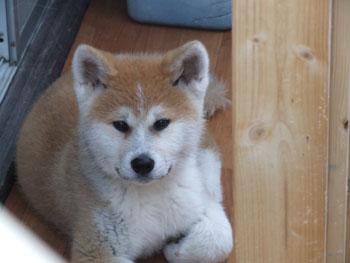 僕は、秋田犬「団十郎」