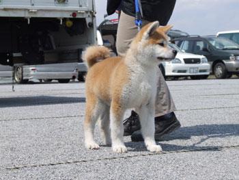 2007年春千葉支部展幼稚犬部参加